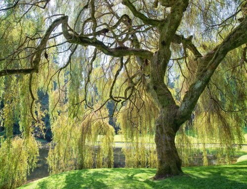 4 trees that provide perfect shade for the Summer