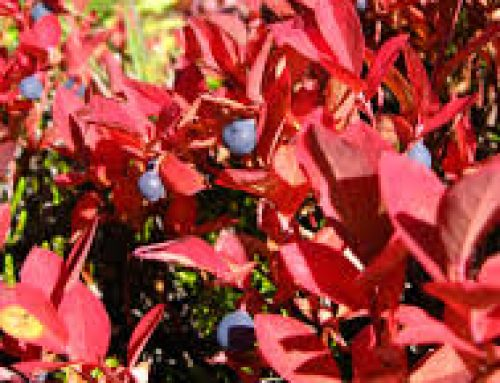 Shrubs that are Perfect for Fall!