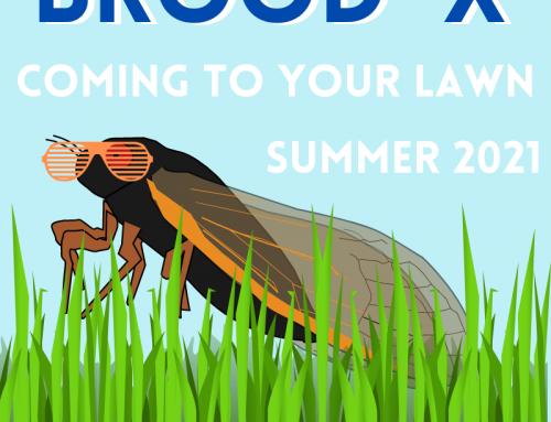 Cicada Lawn Tips!
