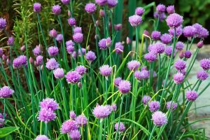 chives creative scapes