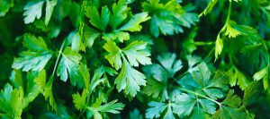 creative scapes parsley