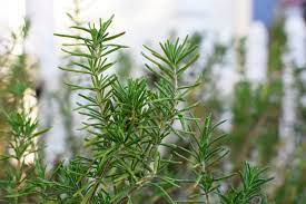 creative scapes rosemary