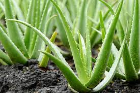 Aloe Vera Creative Scapes Poisonous Dog Plants