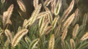 Foxtail Creative Scapes Poisonous Dog Plants