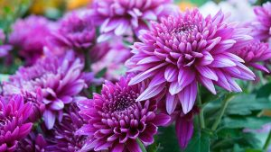 Chrysanthemum Creative Scapes Poisonous Plants Dogs